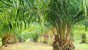 kelapa-sawit-palmoilpledge-id